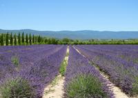 Lavender fields Provence France